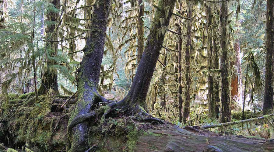 western hemlock tree forest atlas